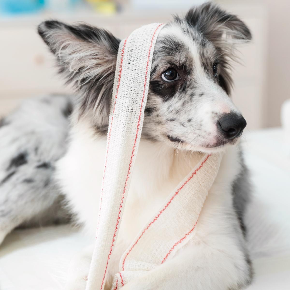 Perro con vendajes en una clínica veterinaria