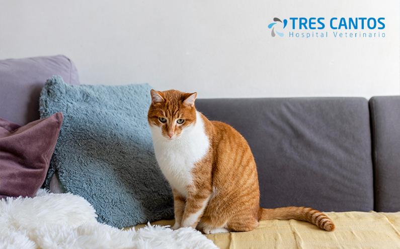 Hipertiroidismo felino: síntomas, causas y tratamiento