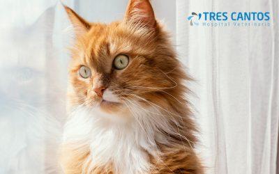 Cistitis idiopática felina: claves para su diagnóstico y tratamiento para veterinarios