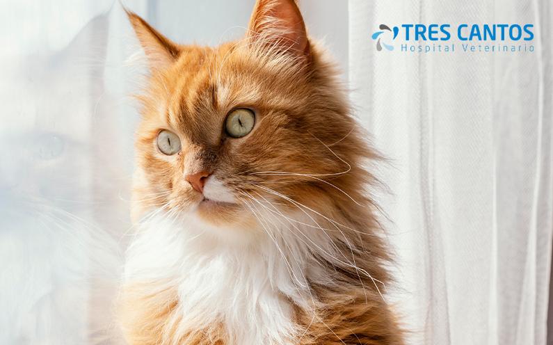 cistitis idiopatica felina