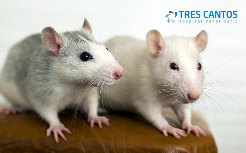 pequeños roedores diagnostico tratamiento